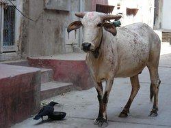 Индийская корова